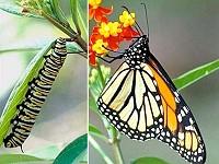 Caterpillar or Butterfly